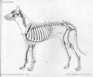 1452px-Dog_anatomy_lateral_skeleton_view