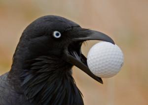 Australian+Raven+and+Golf+Ball+IMG_6261