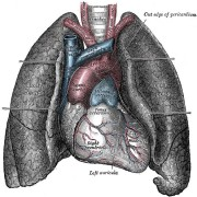 Lungs-716382