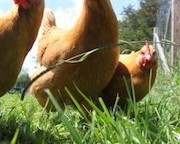 chickens-outside1-300x200