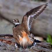 A killdeer faking a broken wing. Flickr: Gdahlman