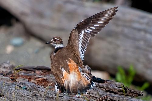 A killdeer faking a broken wing. Flickr: Gdahlman