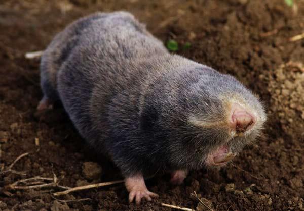 mole-ratFINALA