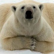 Kochs don't care about the polar bear.