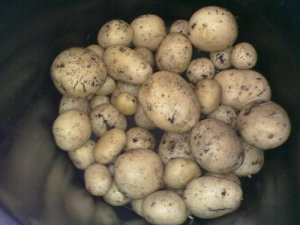 potatoes-dirty