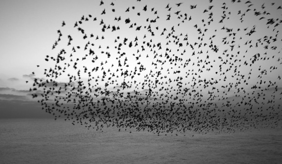 starlings-e1276713669193